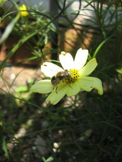 Abelha em uma flor polinização