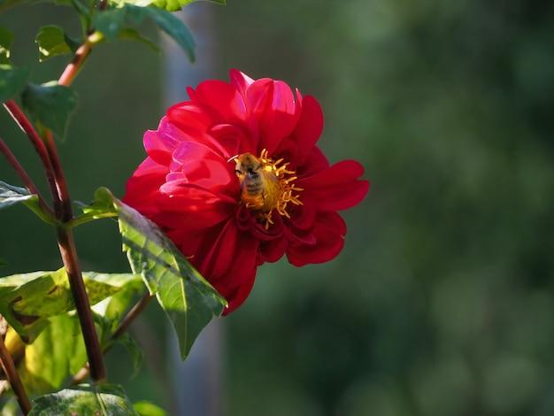 Abelha empoleirada em uma flor de dália roxa e se alimentando de néctar