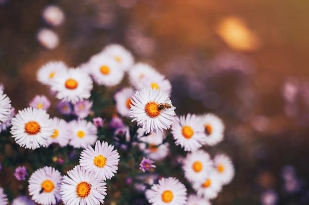 Abelha europeia apis mellifera na flor aster