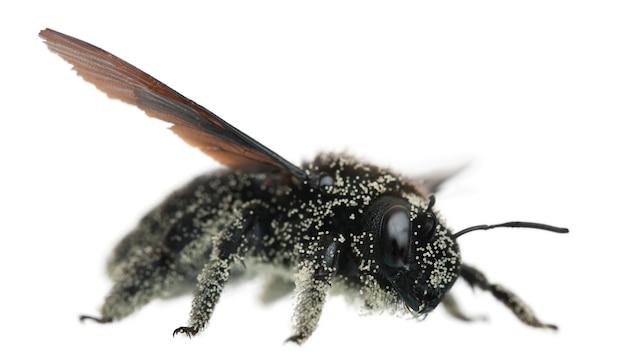 Abelha fêmea coberta com grãos de pólen, apis violacea, em branco isolado