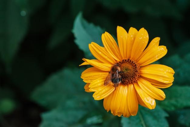 Abelha fofa na suculenta flor amarela com centro laranja e pétalas puras agradáveis vívidas.