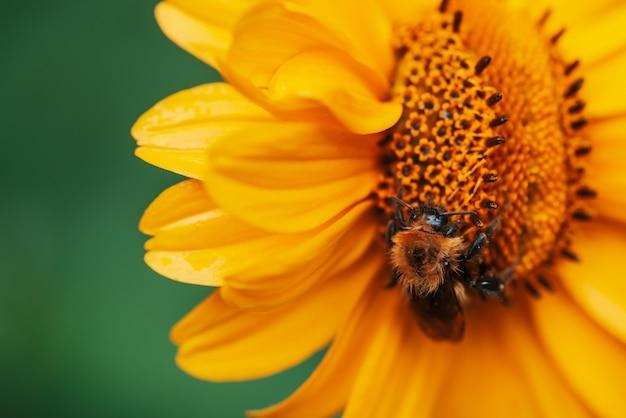 Abelha fofa na suculenta flor amarela