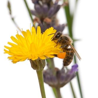 Abelha melífera ocidental ou abelha melífera européia, apis mellifera, carregando pólen, na flor em frente ao fundo branco
