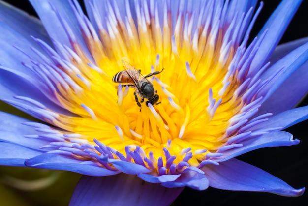 Abelha na bela flor de lótus. Foto Premium