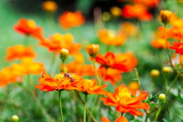 Abelha na flor amarela, pétalas em várias camadas