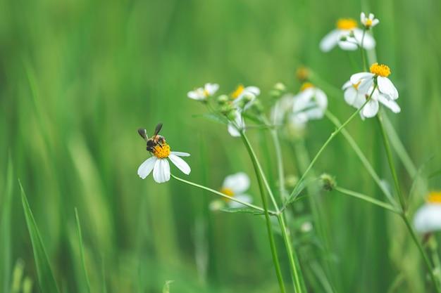 Abelha na flor branca close-up macro enquanto coleta pólen no fundo verde desfocado