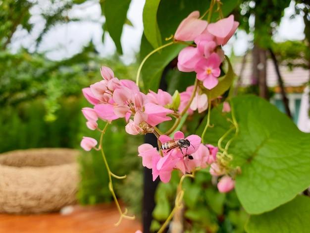 Abelha na flor rosa da trepadeira mexicana no jardim