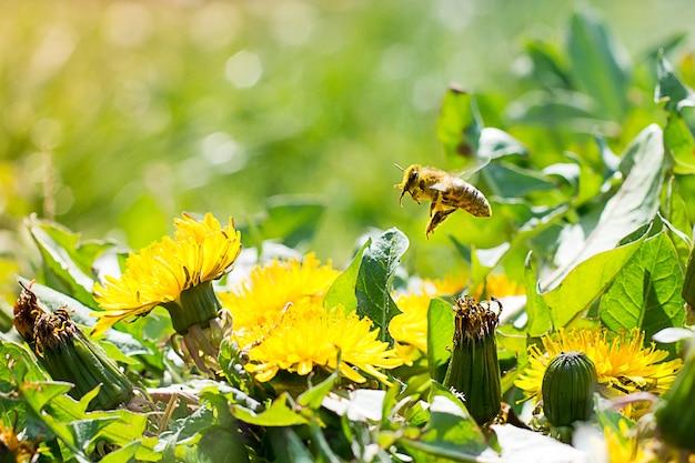 Abelha operária no dente-de-leão amarelo colhendo néctar