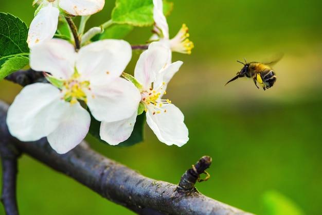 Abelha peluda inseto voa até a flor de macieira em busca de néctar