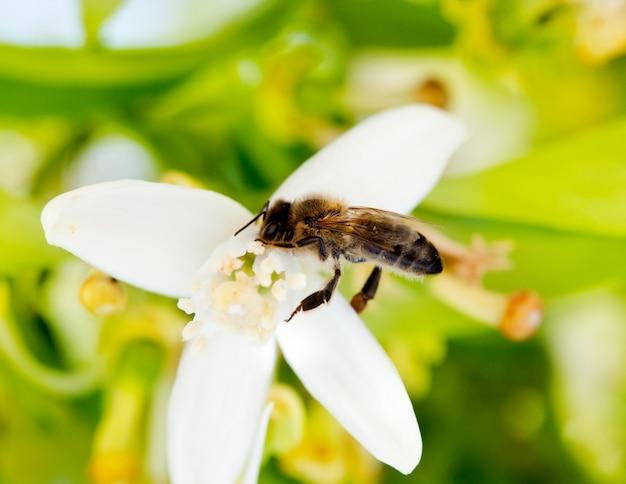 Abelha polinizadora flor de laranjeira na primavera