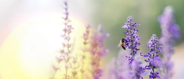 Abelha polinizadora trabalhando em flores roxas - azuis da sálvia azul ou em sálvia carnuda a flor ornamental