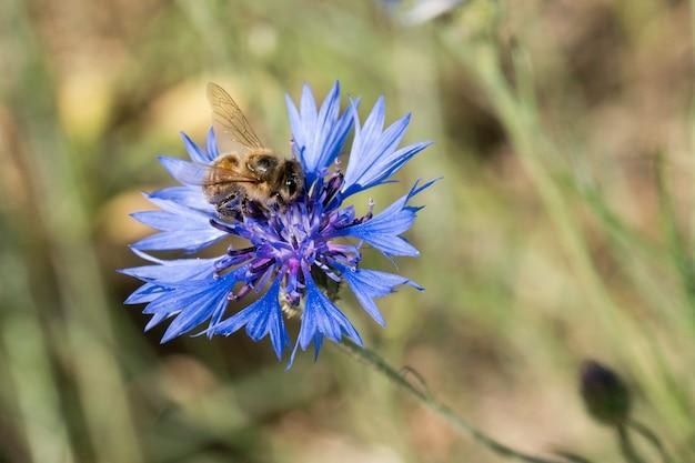 Abelha polinizando centáurea azul na primavera no campo
