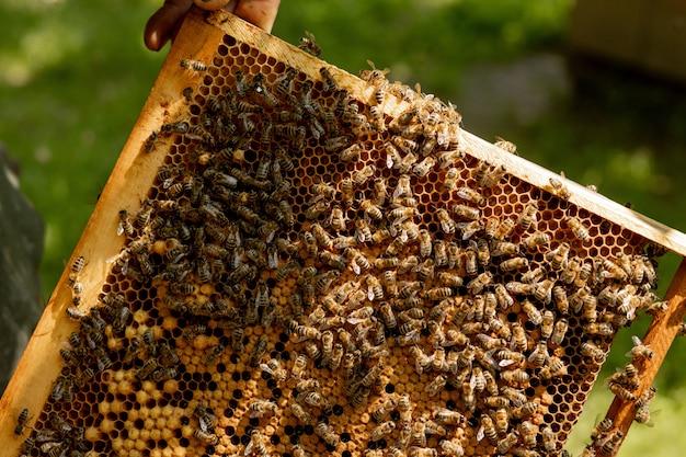 Abelha rainha em uma colméia botando ovos apoiados por abelhas operárias