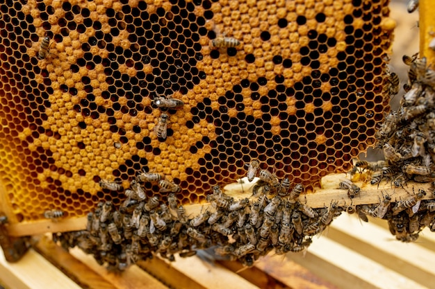 Abelha rainha em uma colméia que põe ovos sustentada por abelhas operárias Foto Premium
