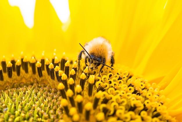 Abelha selvagem coleta pólen, néctar na flor amarela de girassol, foco seletivo