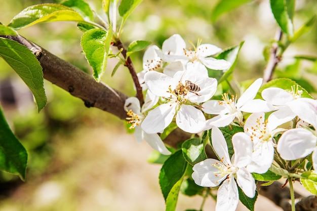Abelha sentada em uma flor de uma macieira em flor