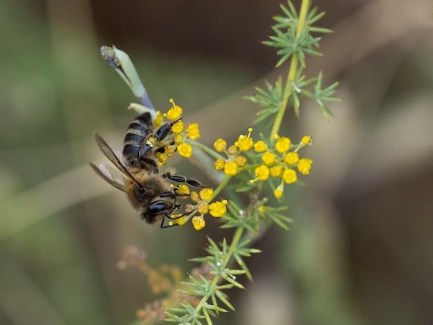 Abelha sugando o néctar de uma flor.