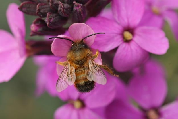 Abelha vermelha macho (osmia rufa) sorvendo néctar de uma flor roxa (erysimum cheiri)