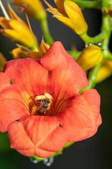 Abelha voadora coletando pólen na flor de laranjeira na primavera