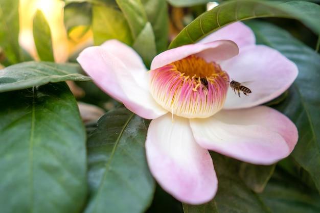 Abelha voando em direção à flor rosa.