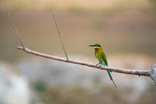 Abelharuco-de-cauda-azul, pássaro