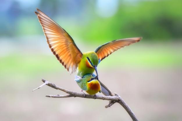 Abelharuco-de-cauda-azul
