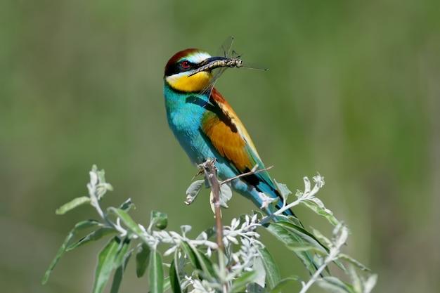 Abelharuco europeu senta-se em um galho e segura uma grande libélula em seu bico.