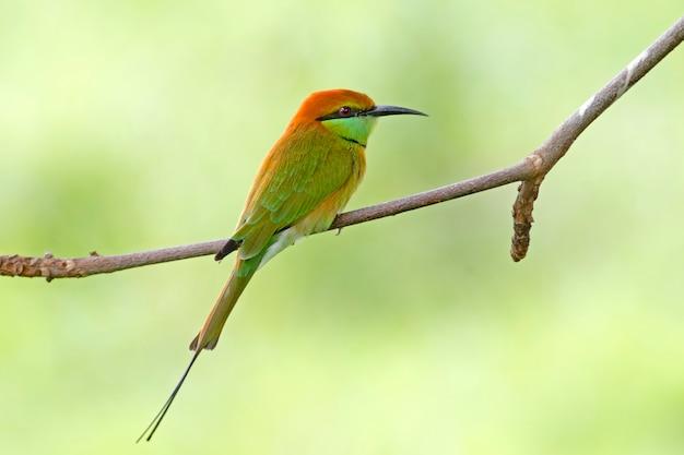 Abelharuco-verde lindos pássaros da tailândia