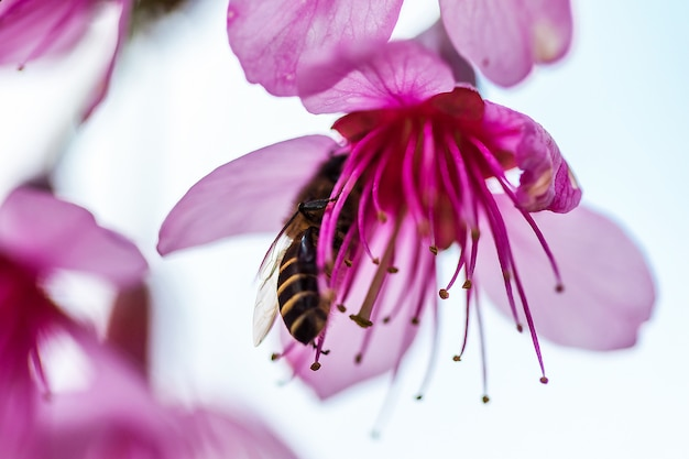 Abelhas comem néctar das flores de prunus cerasoides durante janeiro-fevereiro