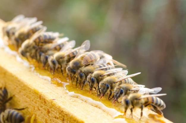 Abelhas comendo mel