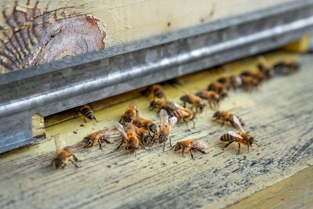 Abelhas entrando na colmeia abelhas na entrada da colmeia close up home apiário foco seletivo