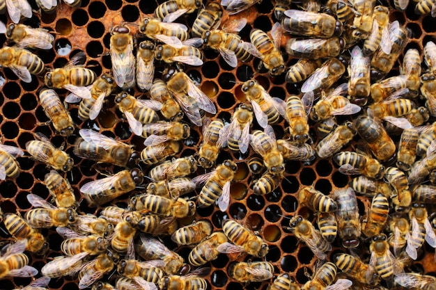Abelhas no favo de mel, close-up
