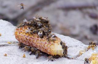 Abelhas produtoras de mel, aguilhão