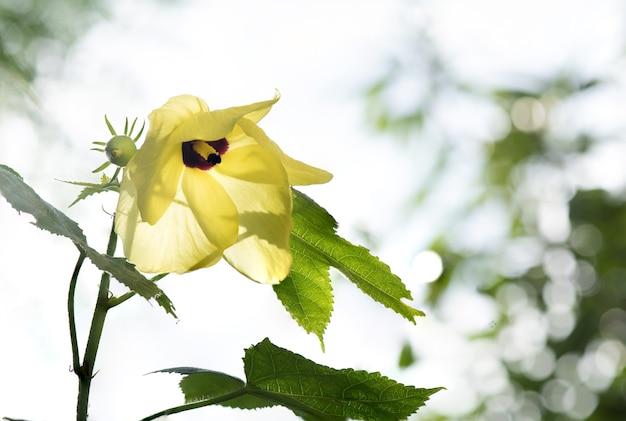 Abelmosk ou abelmoschus moschatus flor no fundo da natureza.