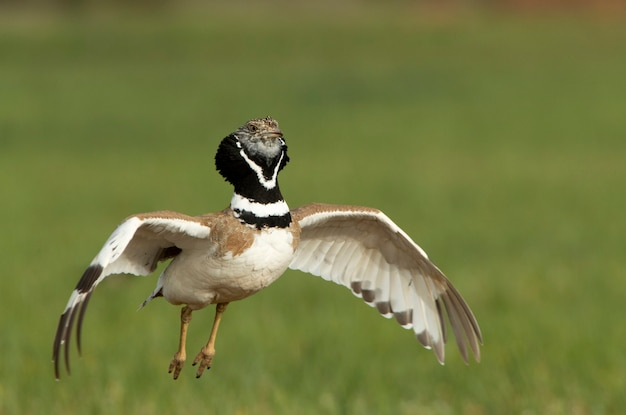 Abetarda macho realizando o cortejo de calor estufando as penas do pescoço e saltando em seu território de reprodução ao amanhecer