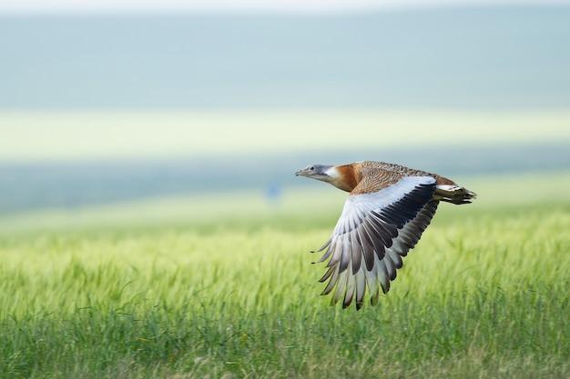Abetarda voando sobre um prado