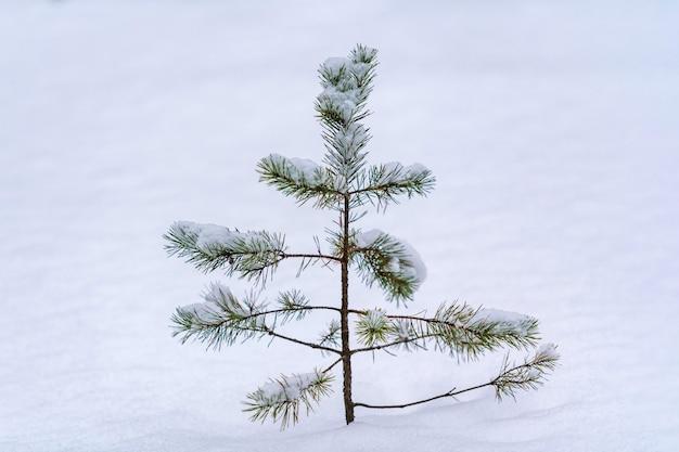 Abeto nas copas das árvores sobre neve no inverno