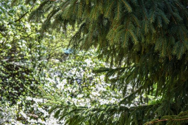 Abeto verde fofo no jardim