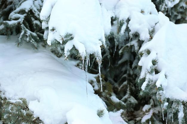 Abeto vermelho coberto de neve e gelo, vista de perto