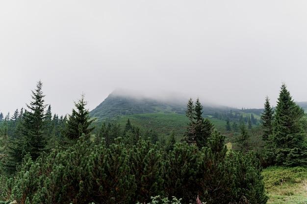 Abeto vermelho em dia de chuva e nevoeiro nas montanhas karpathians