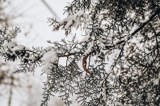 Abeto vermelho na neve closeup inverno fundo abeto árvore neve inverno