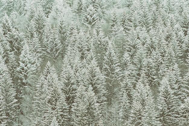 Abetos cobertos de neve. floresta de coníferas espessa. paisagem de inverno