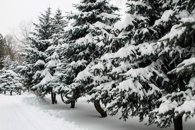 Abetos cobertos de neve no parque da cidade