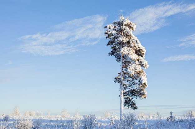 Abetos de neve linda ao sol