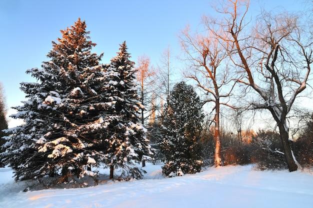 Abetos nevados fofos altos e grossos crescem entre a floresta de inverno nas colinas de uma estação de esqui na floresta. o conceito de natureza rica e selvagem do norte e recreação de inverno