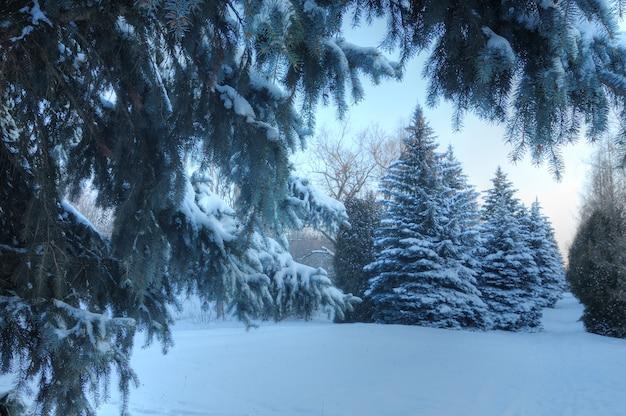 Abetos nevados fofos altos e grossos crescem entre a floresta de inverno nas colinas. o conceito de natureza rica e selvagem do norte e recreação de inverno