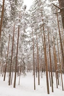 Abetos vermelhos altos e mágicos em uma floresta de neve no dia de inverno