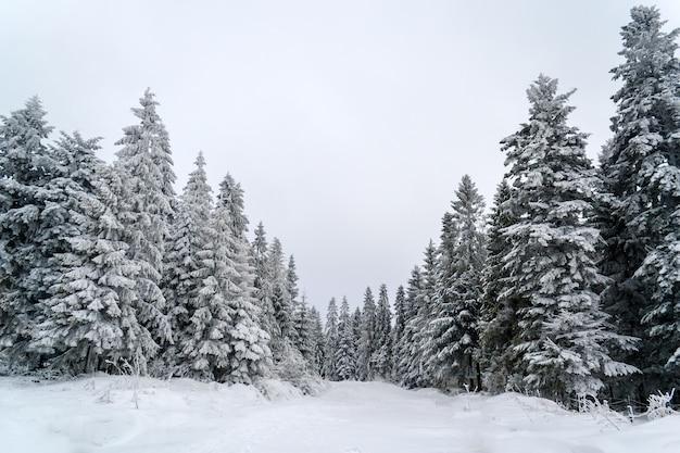Abetos vermelhos nevados nas montanhas dos cárpatos