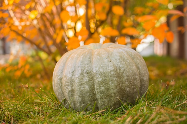 Abóbora. colhendo abóboras no jardim do outono.