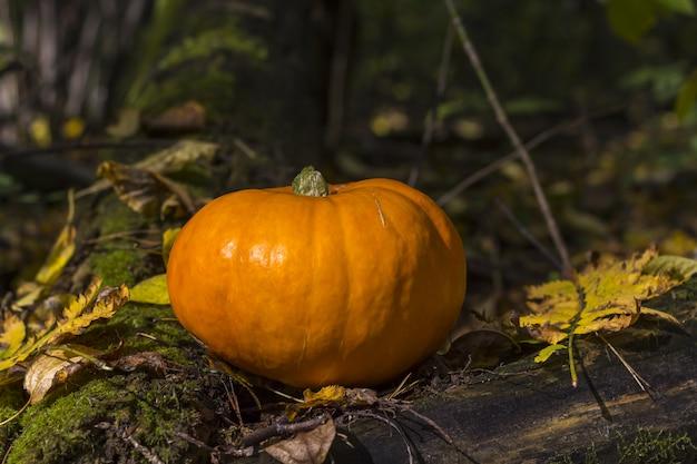 Abóbora da colheita da queda em uma grama verde ao ar livre. composição de outono. dia de ação de graças e conceito de halloween.
